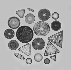 East diatoms 1.jpg