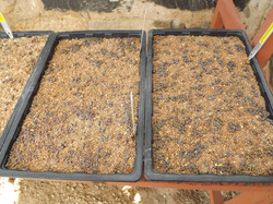 C Project2 Seedlings Alte Kalk  May2016.JPG