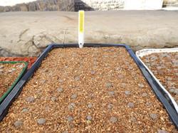 C project1 Cole Lithoparium  seedlings.JPG