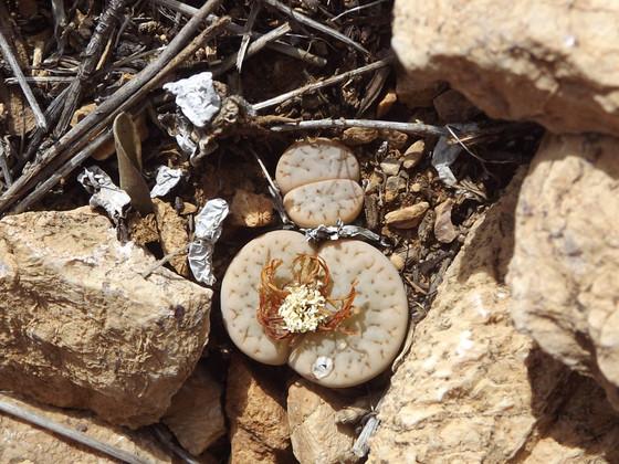 Finding Lithops pseudotruncatella archerae