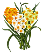 Daffodils_MrsPullig_Instruction