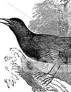 mockingbird etching stockk image.jpg