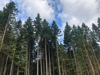 淺談系列:樹種篇 - 北美黃檜(阿拉斯加扁柏)