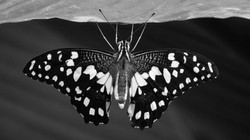 03 Chequered Swallowtail
