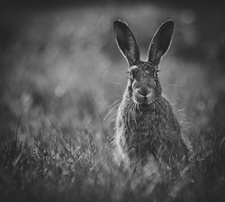 45 Solitary hare - Copy