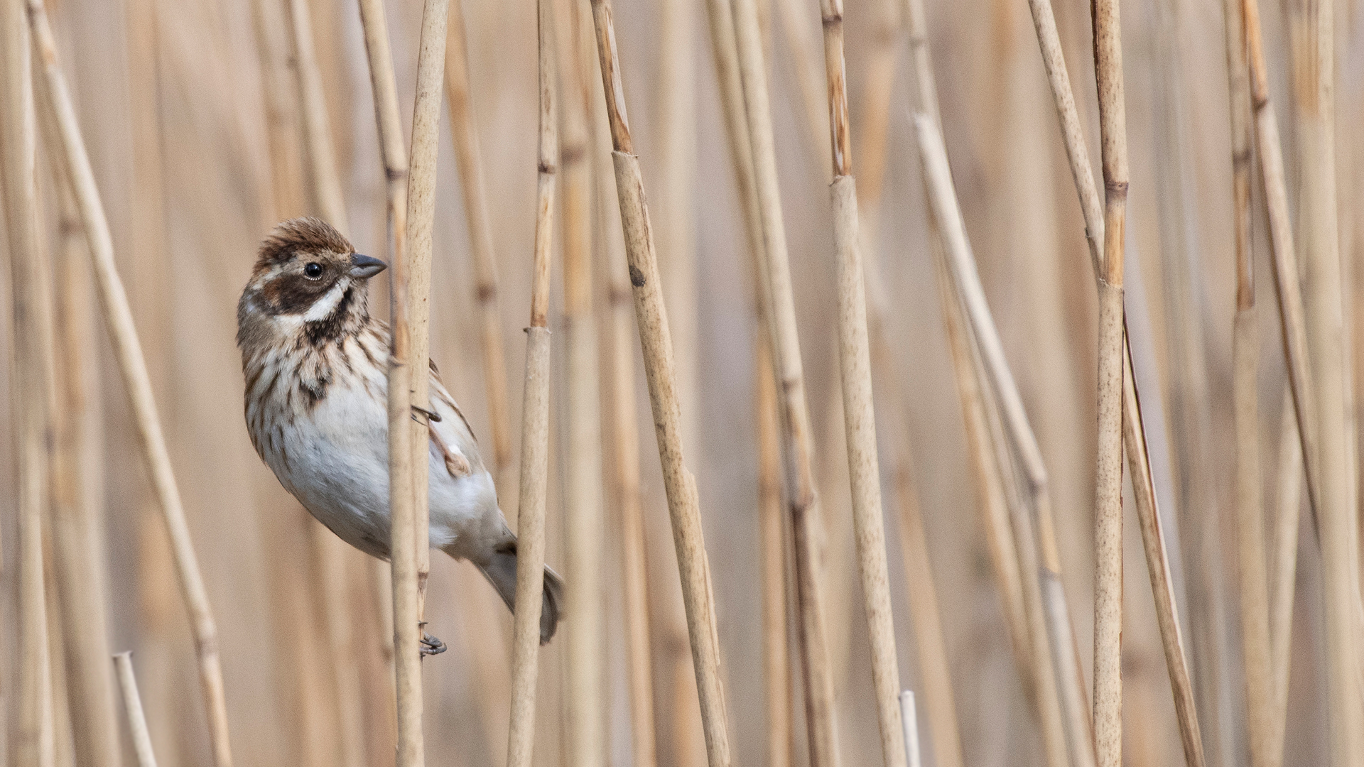 43 Reed Bunting