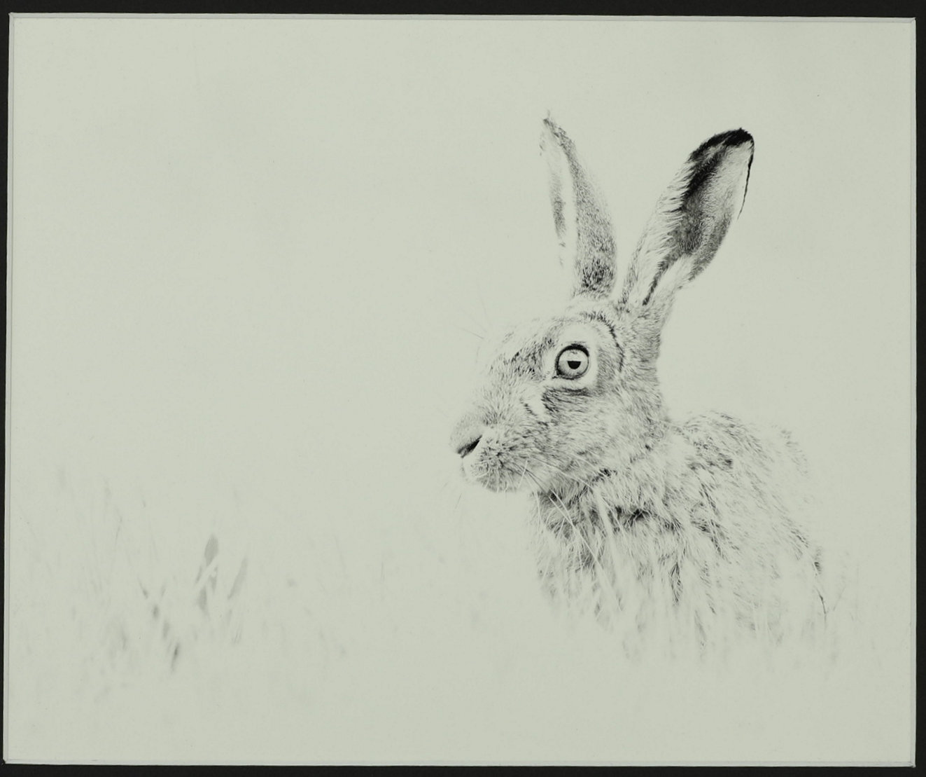 5th  Commended Hare  PHIL NAYLOR