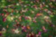 dried-maple-leaves-on-grass-ground-21703