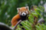 animal-cute-red-panda-146102.jpg