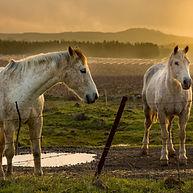 סוסים בשקיעה