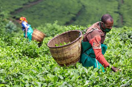 Tea plantation, Rwanda