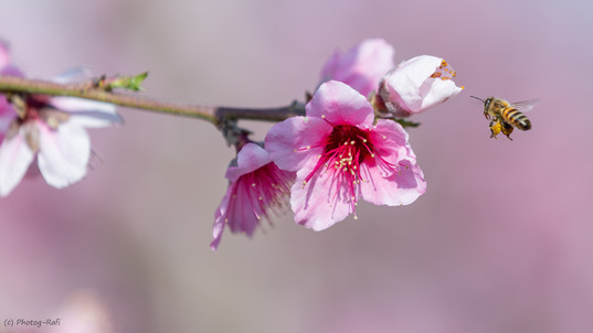 Blossom and bee