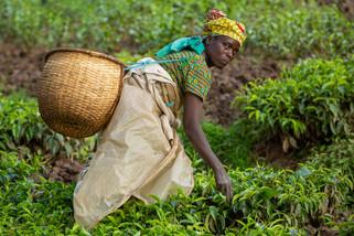 Tea picker - Rwanda