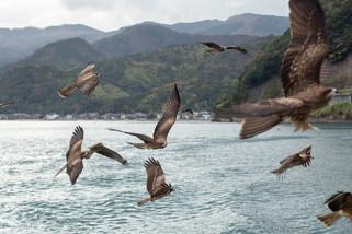 Falcon flock, Japan