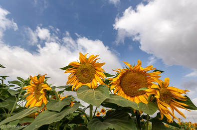 Sunflowers spring