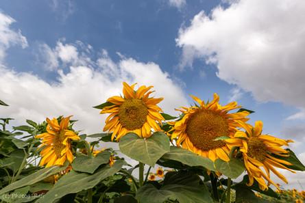 Sunflowers spring