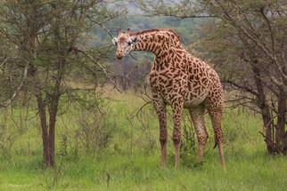 Giraffe in Akagera - Rwanda