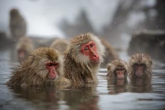 Snow monkies, Japan