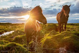 Golden Horses, Iceland