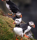Puffins - Faroe Islands