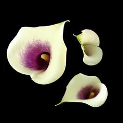 3 Calla lilies
