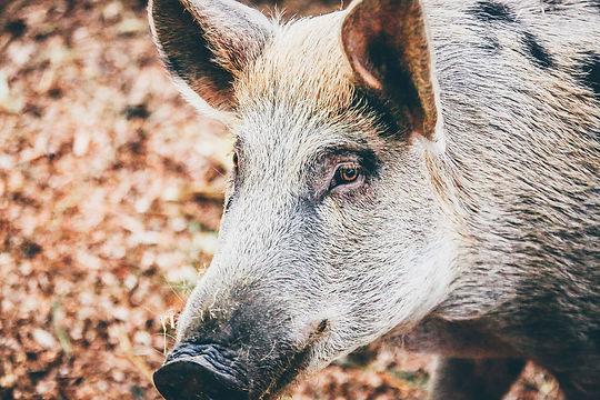 Wildschwein web.jpg
