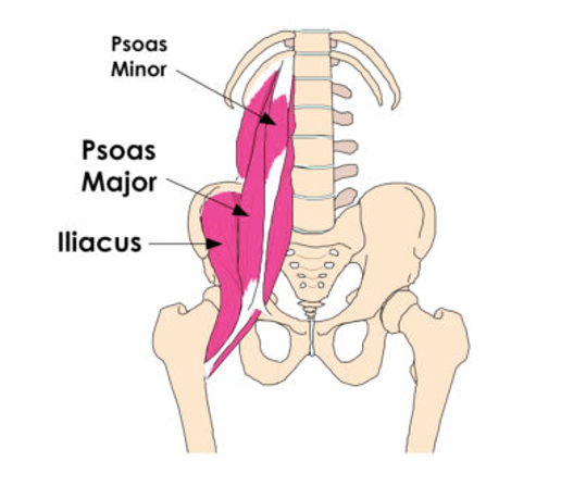 hip flexor attachments shown at the low back