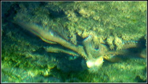 Octopus onder water op Leros eiland, Griekenland