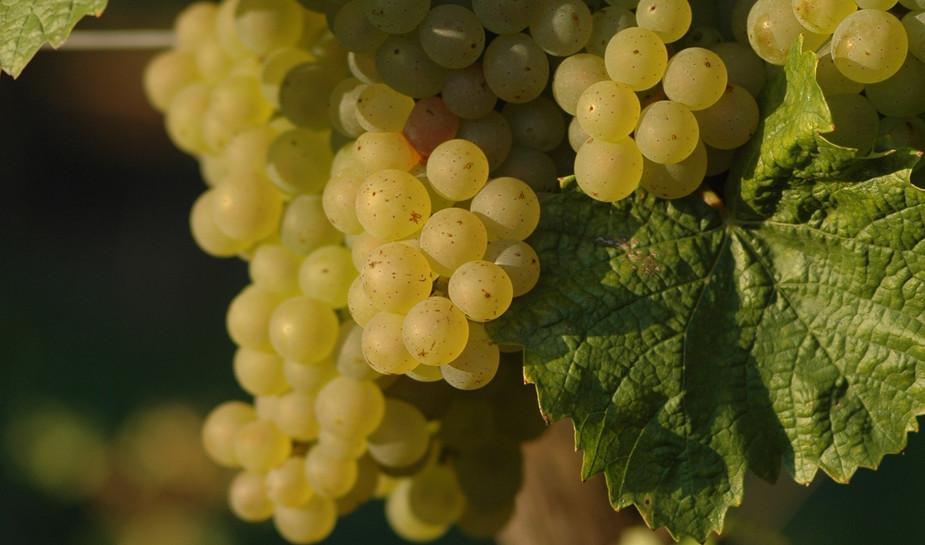 Grappes de Chardonnay