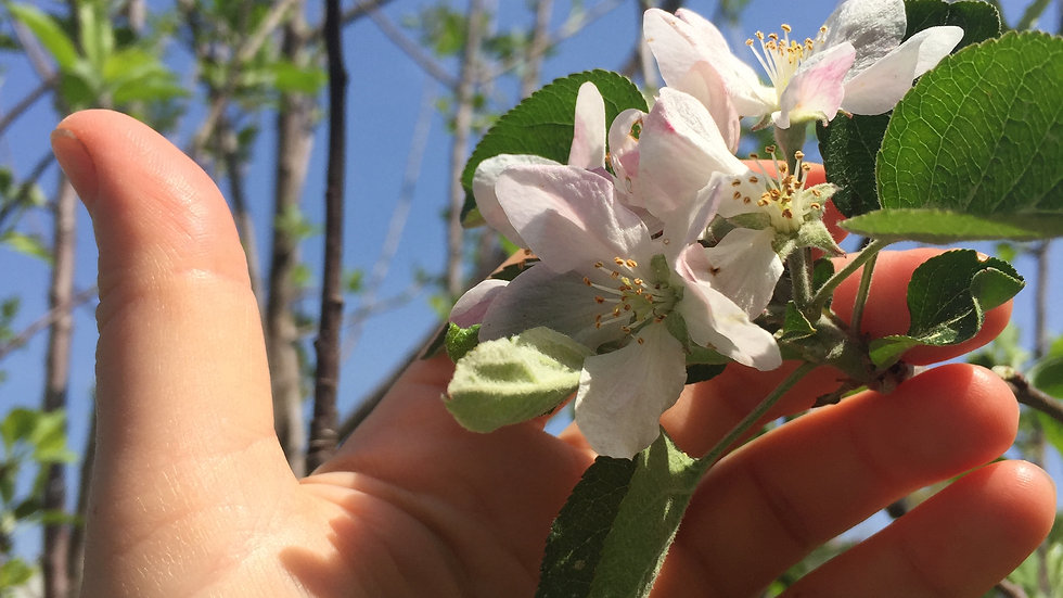 medicines from the orchard