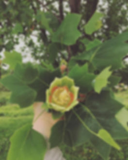 • the tulip poplar flower • sap sticky &