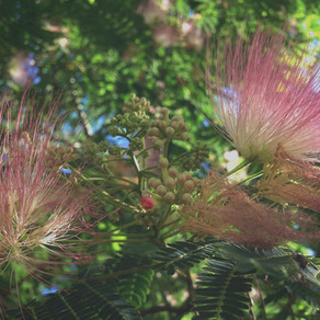 Mimosa for the Dreaming Months ~