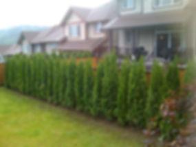 cedar_trees_2010_627.JPG