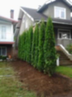 cedar_trees_2013_aug_006.jpg