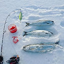Ice fishing for TASTY kokanee! today.jpe
