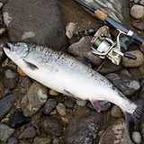 Pink salmon, freshly caught female