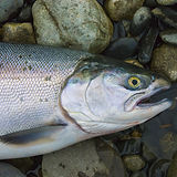 Wild fresh caught salmon fish from Alask