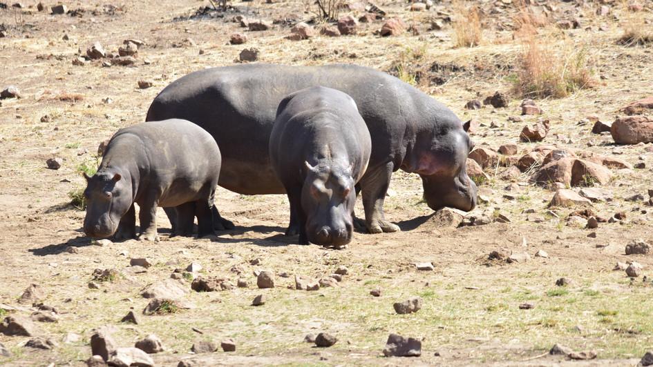 Flußpferde in Pilanesberg