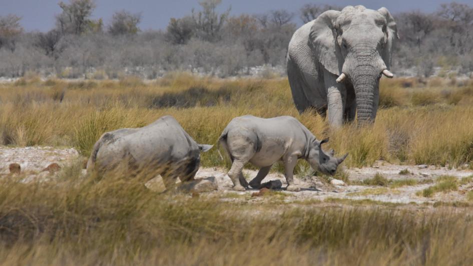 Nashörner und ein Elefant