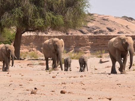 Wüstenelefanten und eine Überraschung im Hoanib
