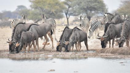Gnus und Zebras