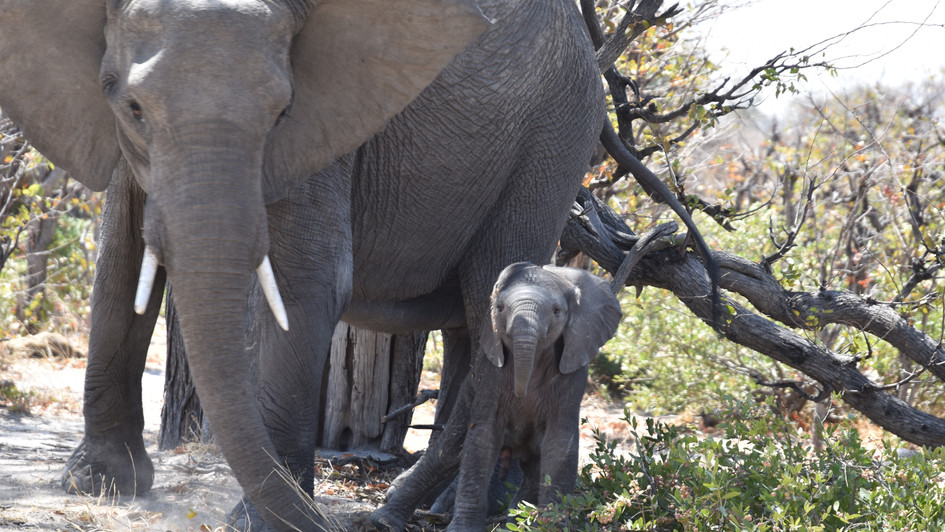 Elefantenkuh mit Neugeborenem