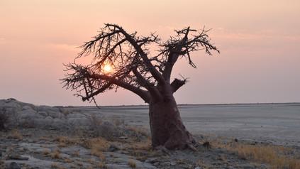 Baobab auf Kubu Island