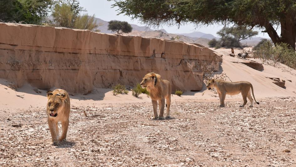 Wüstenlöwen