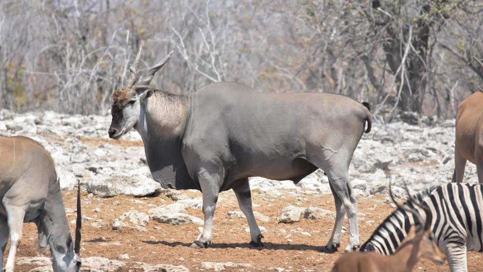 Elend- Antilope