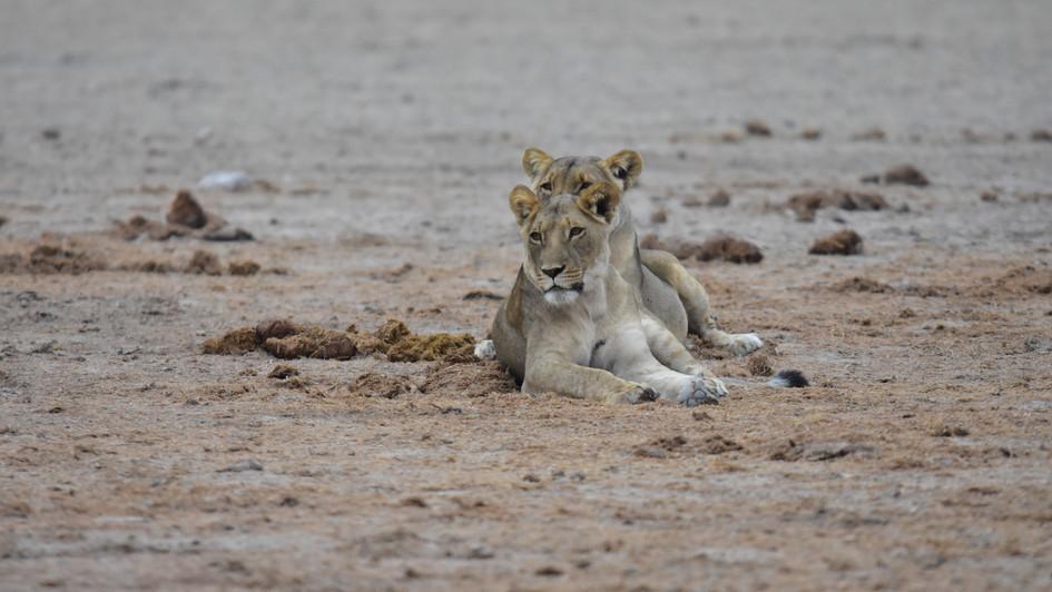 Junge Löwinnen