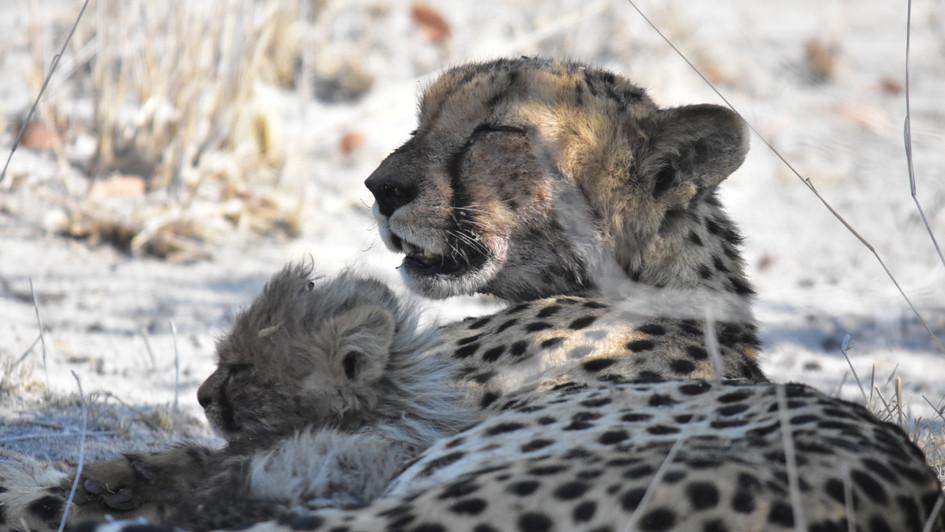 Gepardin mit 4 Jungtieren