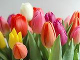tulipa1.jpg