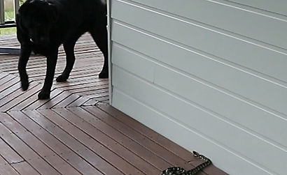 Dog Snake Avoidance Campbellfield