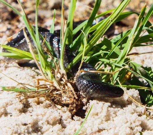 Snake Catcher Melbourne